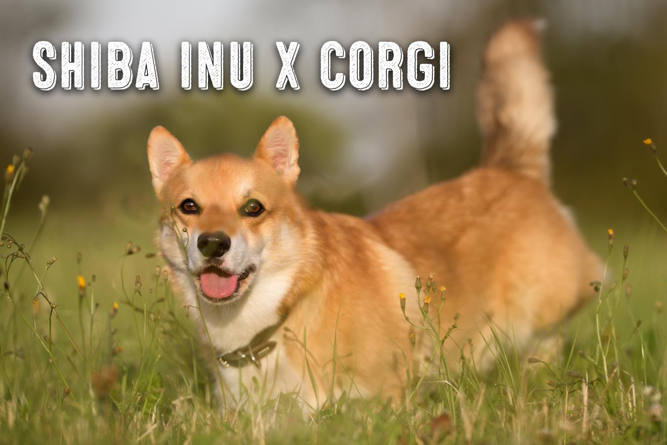Fullsize Of Corgi Shiba Mix