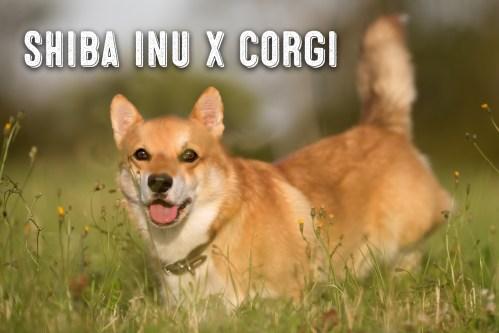 Medium Of Corgi Shiba Mix