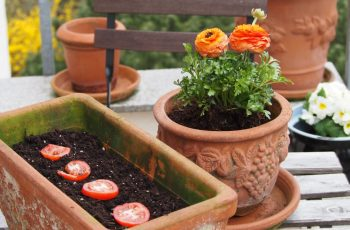 Tomatenpflanze züchten