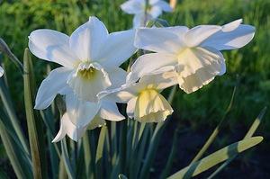 Нарцисс Триандрусовый Талия (Thalia)