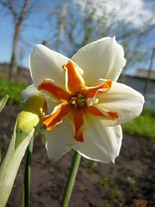 Нарцисс разрезнокорончатый  Треполо