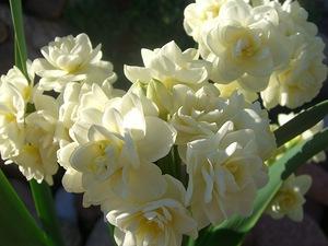 Нарцисс тацетный Ёрлишер (Erlicheer)