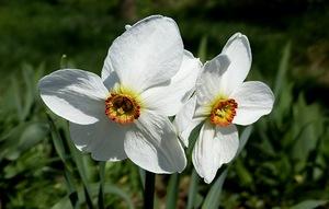 Нарцисс поэтический Актея (Actaea)