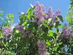 Idyllic Not Just Seems Early Ones Get Syringa Or Lilac Flowery Prose Dwarf Korean Lilac Tree Sale Dwarf Korean Lilac Tree Syringa Palibin Full Glory Right Lilacs Are