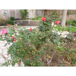 Small Crop Of Pruning Knockout Roses