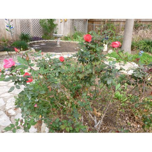 Medium Crop Of Pruning Knockout Roses