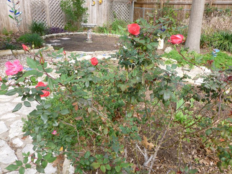Large Of Pruning Knockout Roses