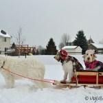 Dog Sledding Minnesota Style | GBGV | Wordless Wednesday