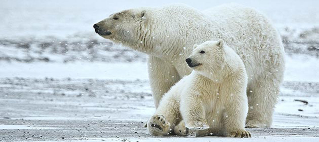 1/3 of the profits from card sales goes to polar bear conservation