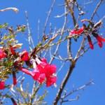 Cantuta, Perus Nationalblume