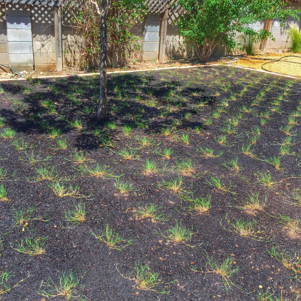 A Clients home freshly planted with the grass plugs.