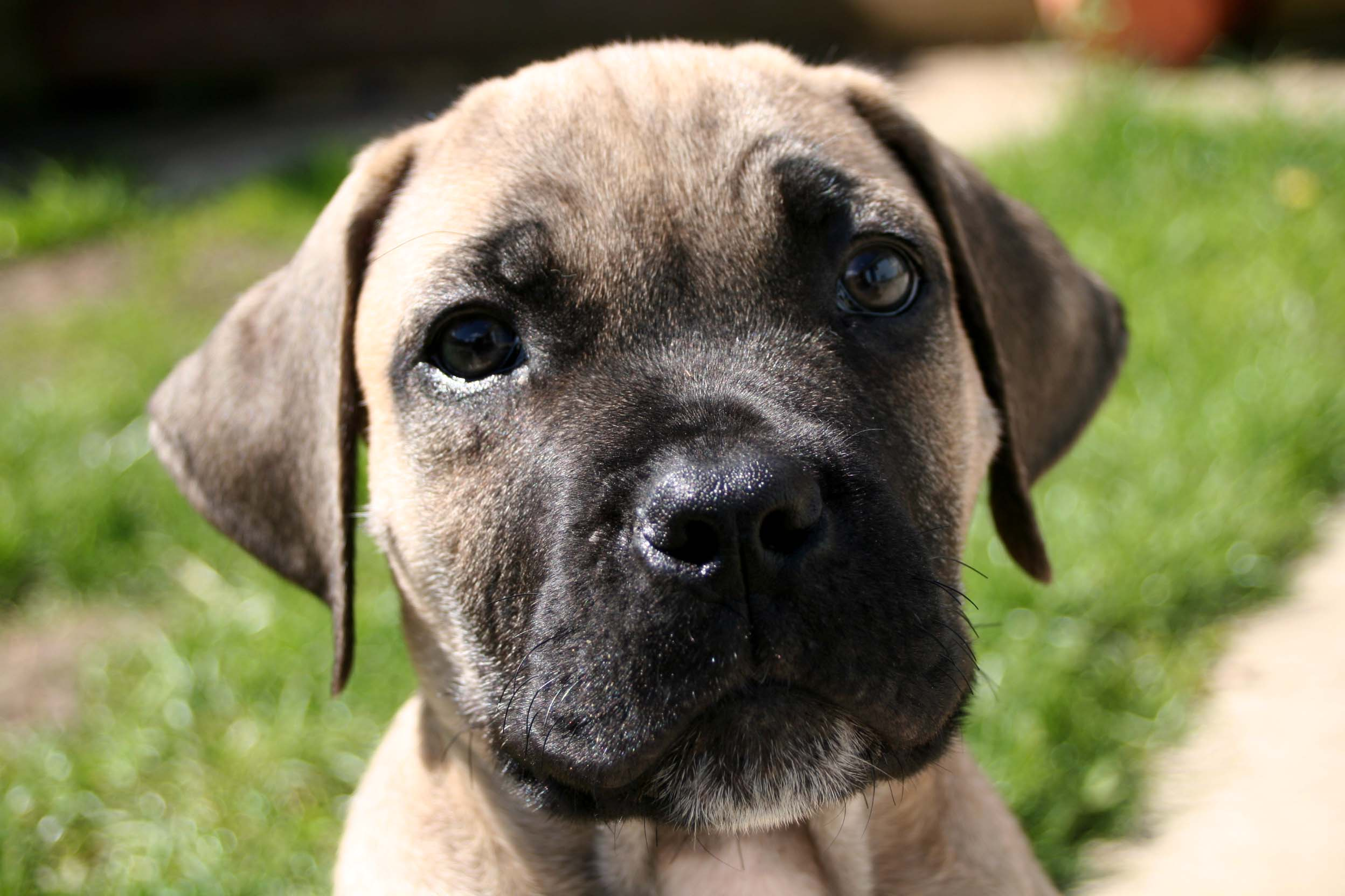 Luxurious Thing To Do Living Your Boerboel Months My Little Boerboel Do Red Nose Pitbulls Shed Do American Pitbulls Shed bark post Do Pitbulls Shed