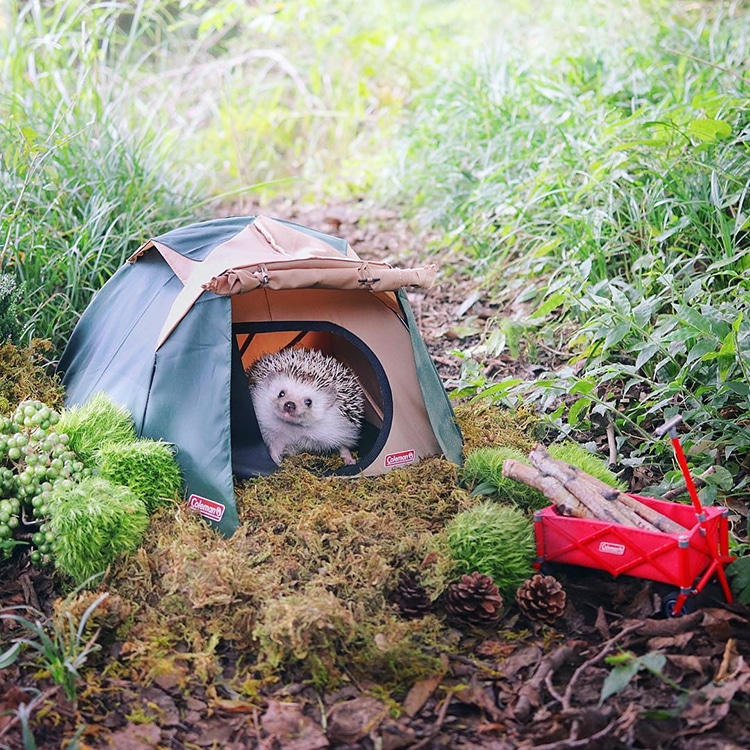 Azuki the Pygmy Hedgehog Packs his Tiny Bags and Goes Camping Azuki Tiny Hedgehog Goes Camping