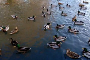 Video: Ducks – Nokia Lumia 920 video sample (1080p)