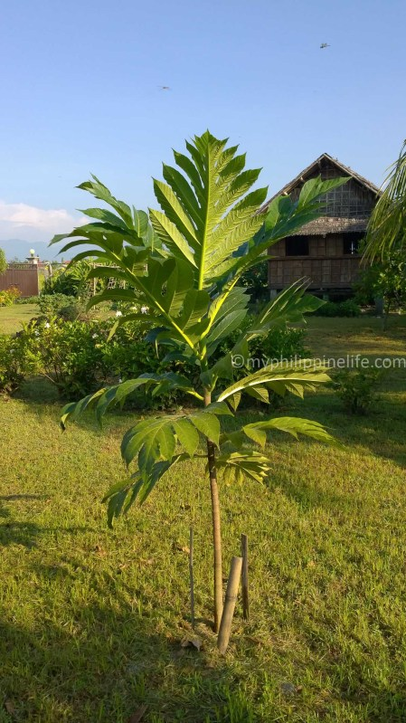 After a year our little Breadfruit is thriving