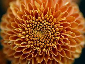 Mums_flower_big_yellow