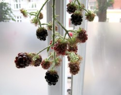 Seemly Berry Close Modest Blackberry Harvest Mythological Quarter Growing Potatoes S Growing Potatoes From Seed S