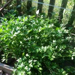 Patch of parsley
