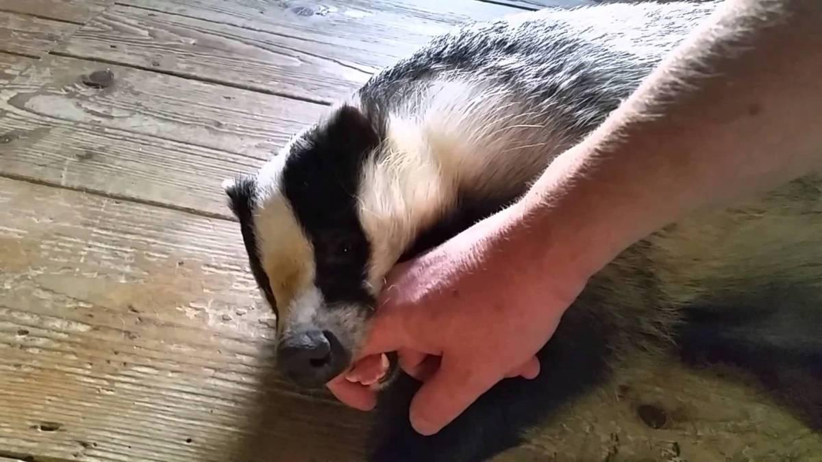 Playful Cute Little Badger