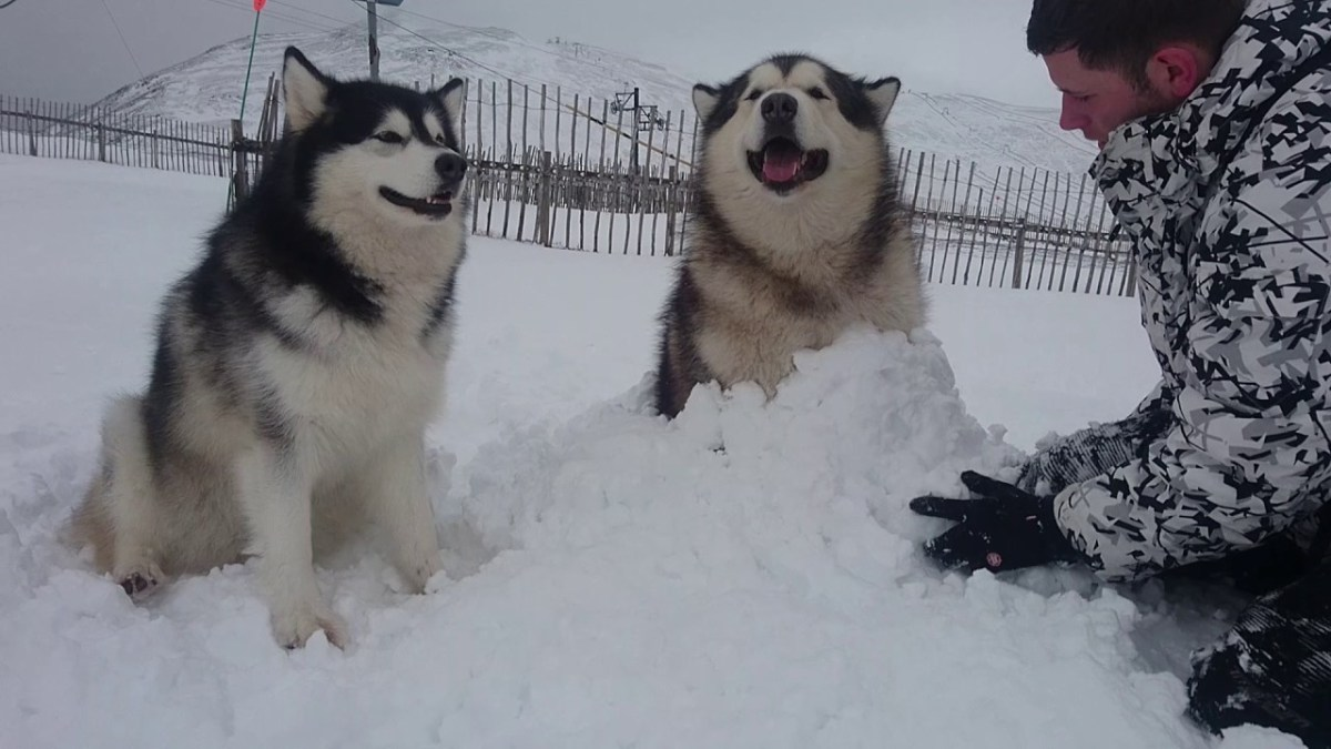 Alaskan Malamute Loves Being Buried In The Snow