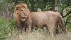 Male Lion with loose canine tooth