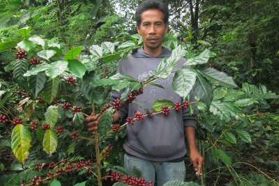 Coffee Ready to Harvest
