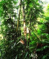 Bamboo prevents riverbank erosion