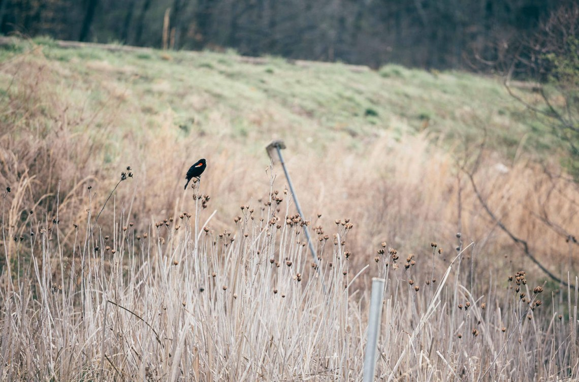 a_creative_call_to_connect_with_nature_redwing_blackbird
