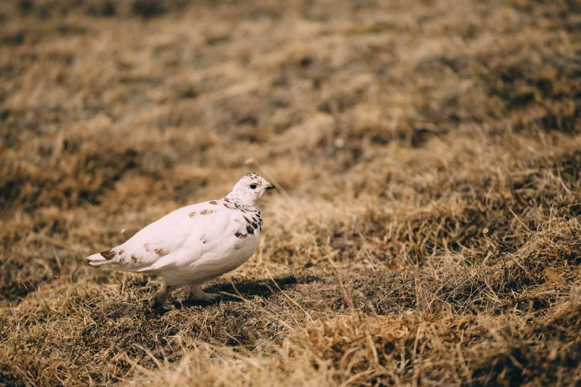 three_ways_to_explore_rocky_mountain_national_park_quest_White-tailed_Ptarmigan