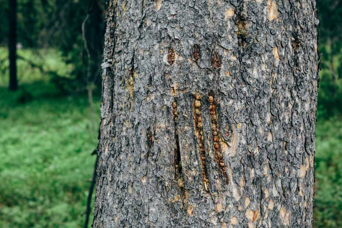 Sign of bears on trees are all around, if you look carefully.