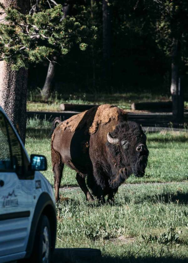art_of_funny_animals_photography_prairie_bison_face