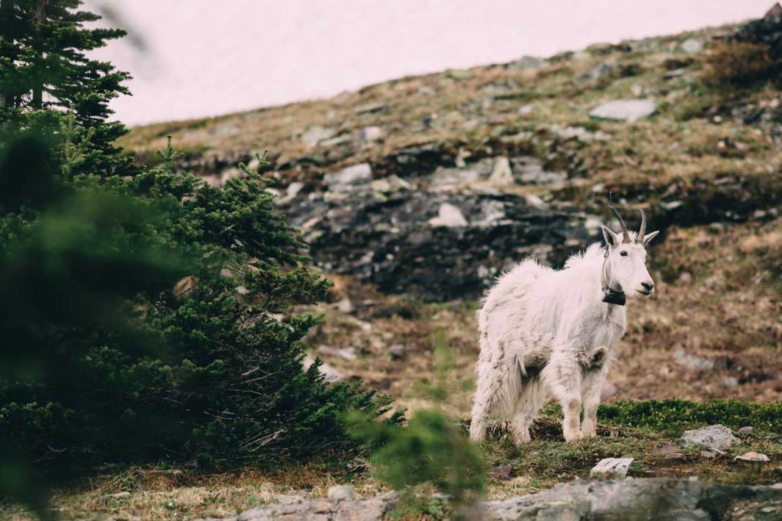 magical_glacier_national_park_mountain_goat_lone