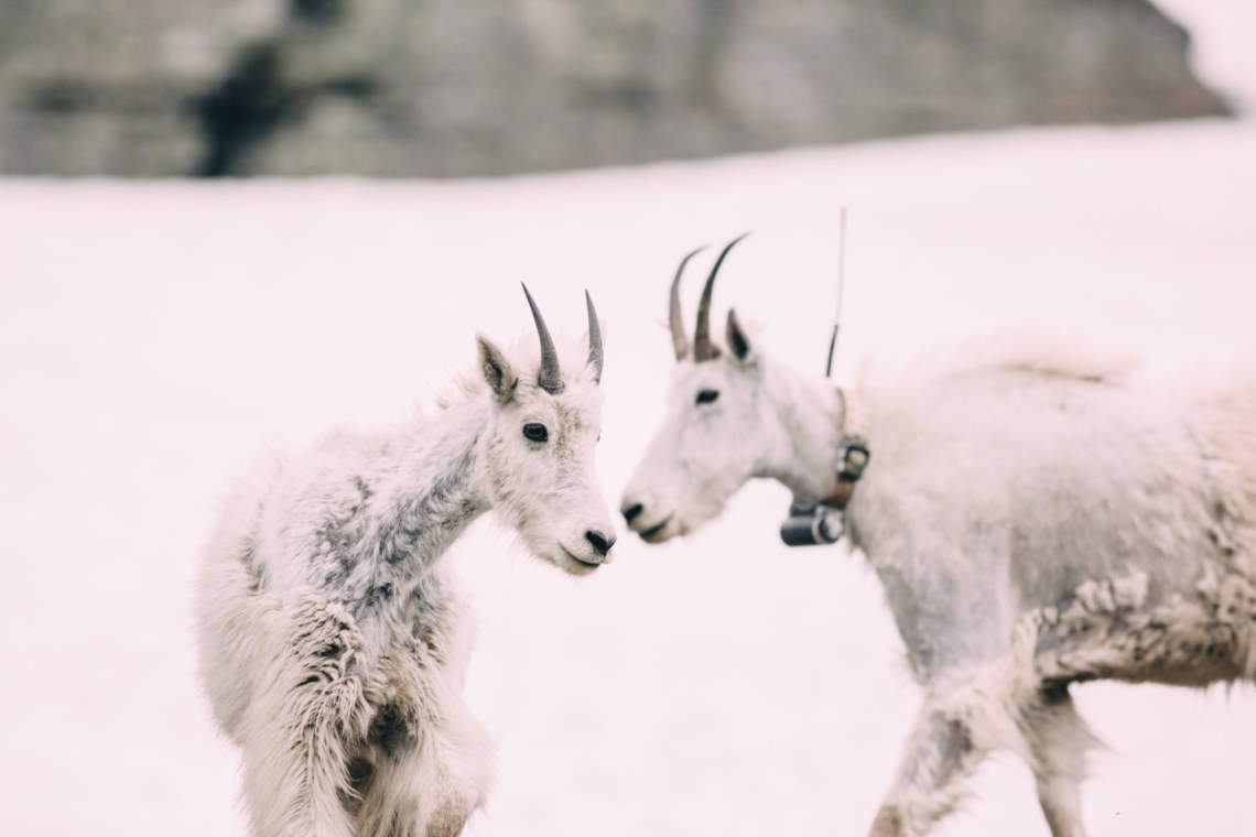ode_to_mountain_dwellers_goats_love