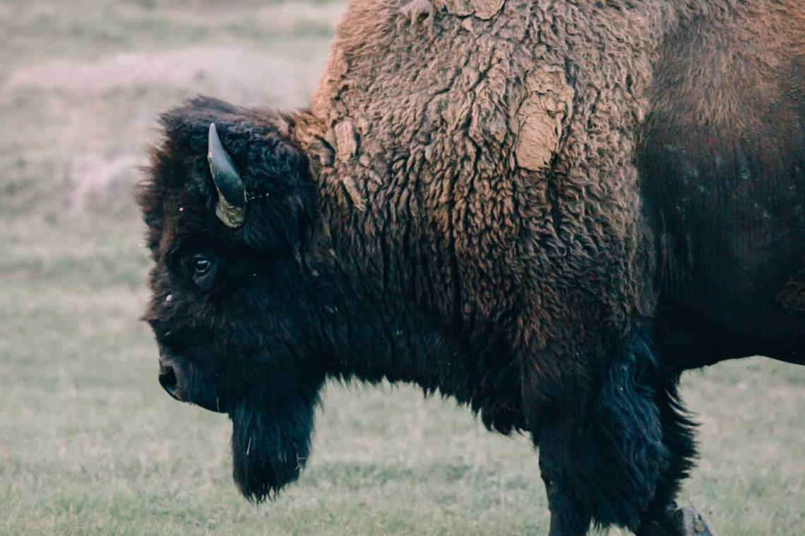Like bison, prairie dogs are a keystone species.