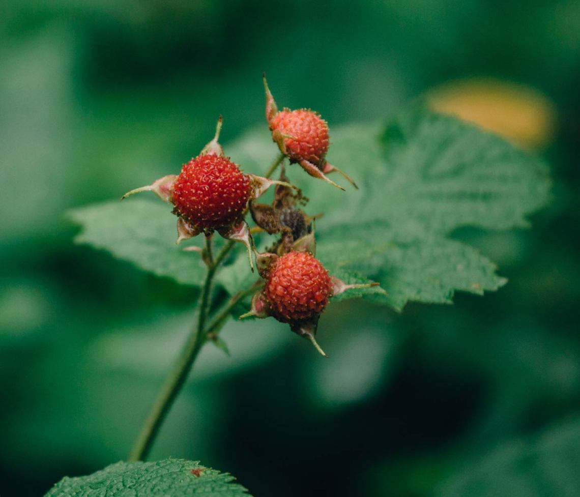open_letter_isle_royale_national_park_thimbleberry