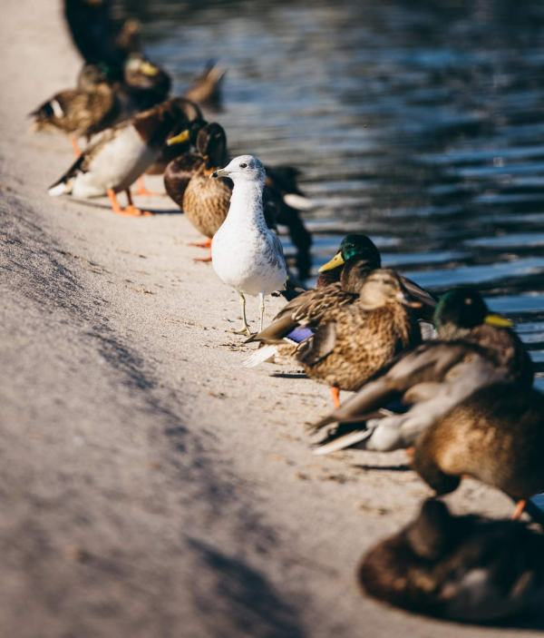 Ducks in a row, a little diversity in the wildlife too, in Washington DC.