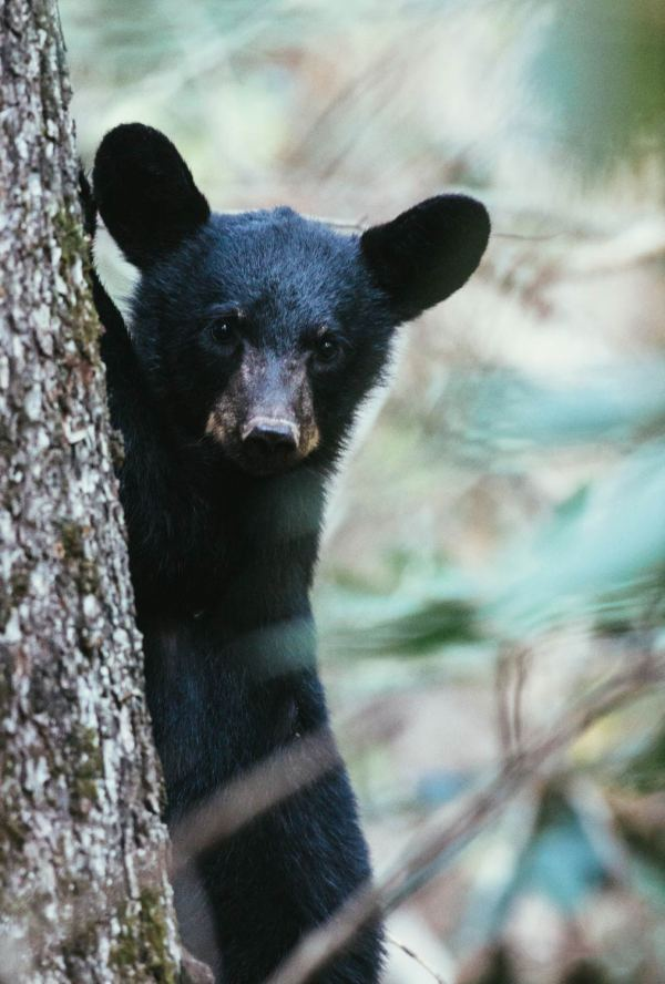cades_cove_no_car_loop_black_bear_cub