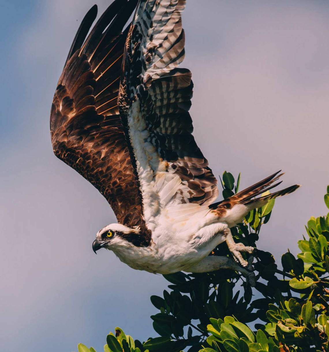 three_ways_visit_biscayne_national_park_boca_chita_osprey