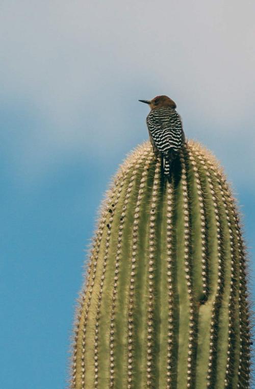 reflection_land_saguaros_national_park_saguaro_bird