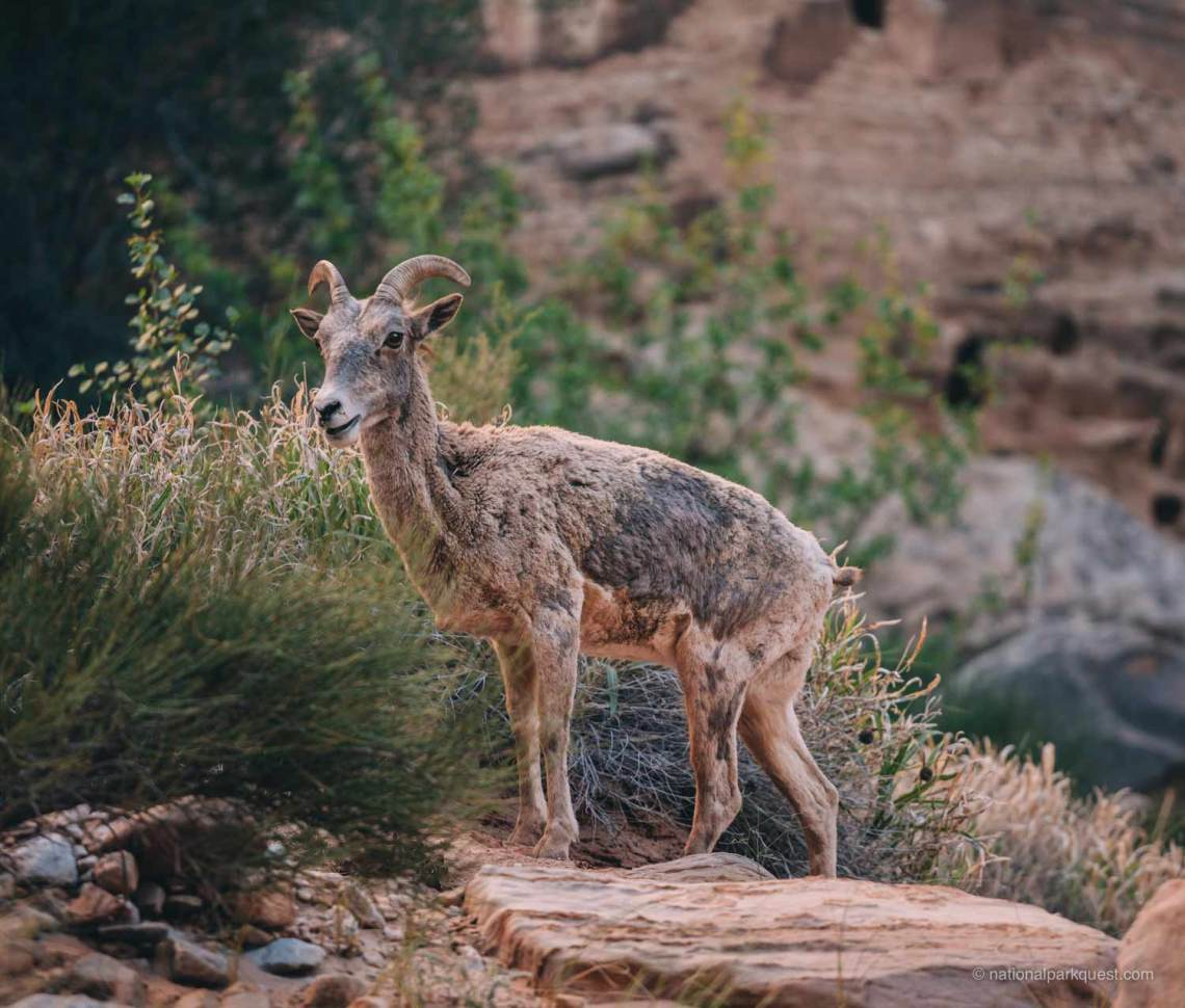 7_capitol_reef_national_park_facts_sheep