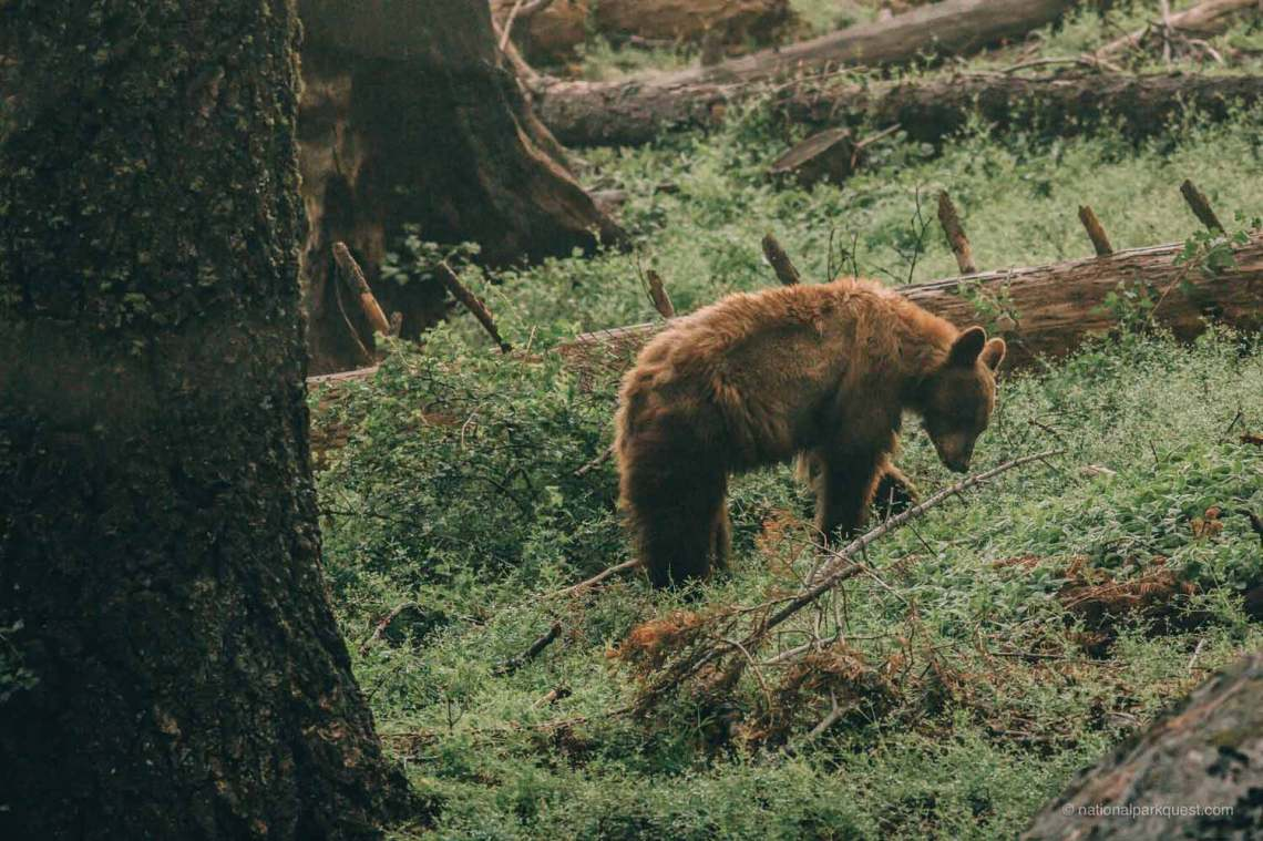 tale_of_two_california_bears_foraging