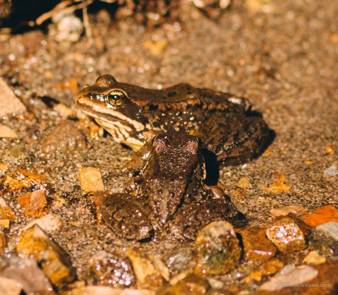 those_who_wander_in_rainier_lake_frog