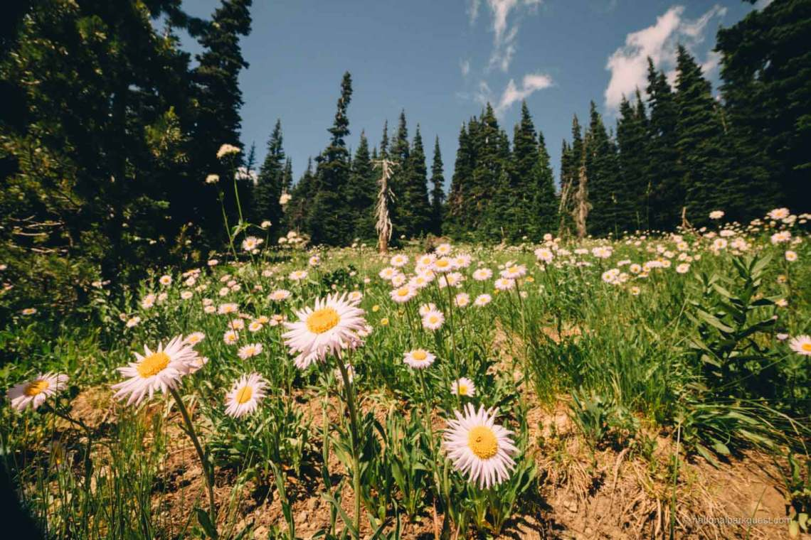 those_who_wander_in_rainier_wildflowers