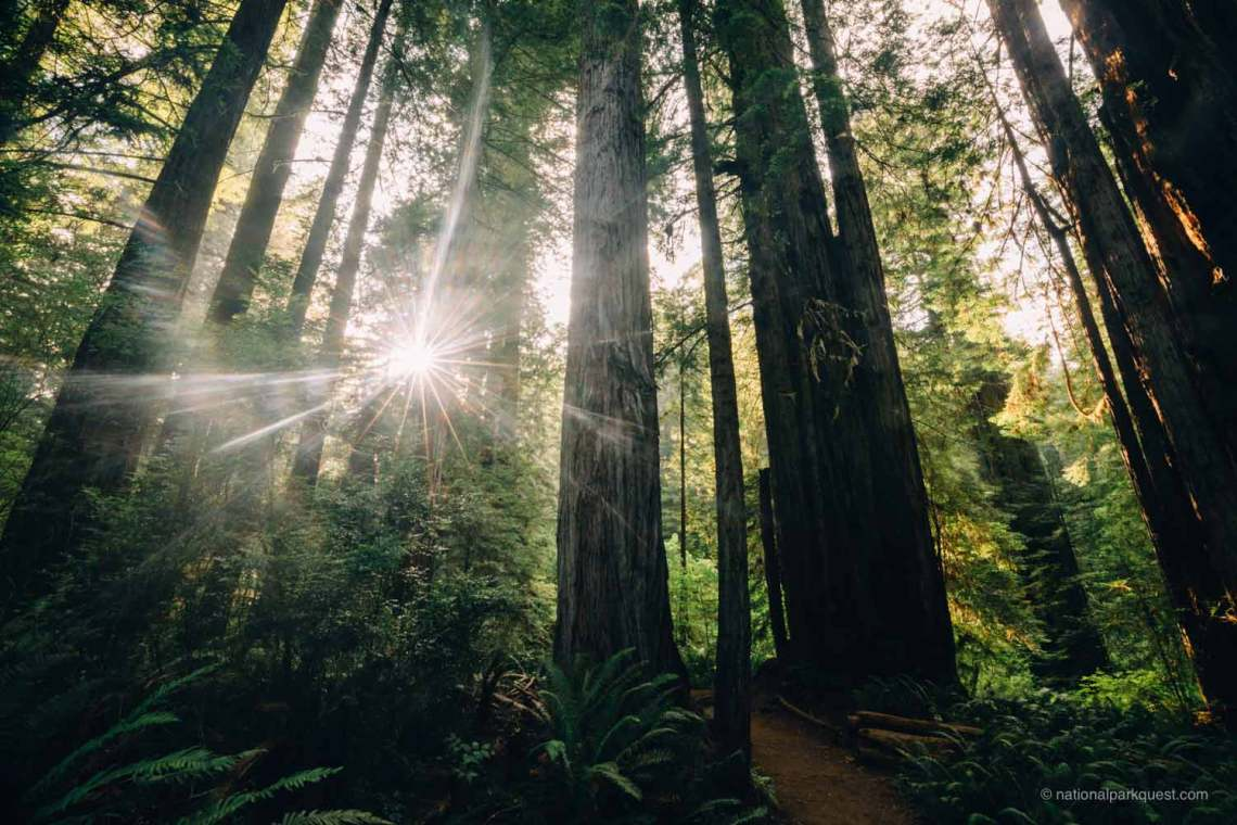 words_of_a_redwood_tree_poem_national_park_quest_forest