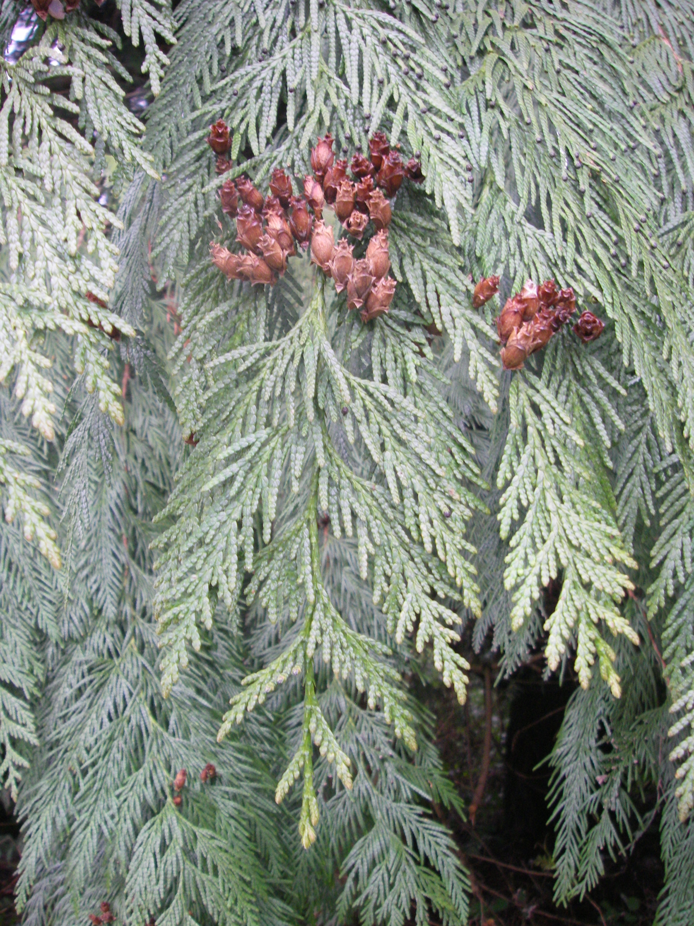 Dashing Persistent Woody Cones Western Red Cedar Western Red Thuja Plicata Native Plants Pnw Sourn Red Cedar Height Sourn Red Cedar Seedlings houzz-02 Southern Red Cedar