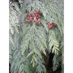 Small Crop Of Southern Red Cedar