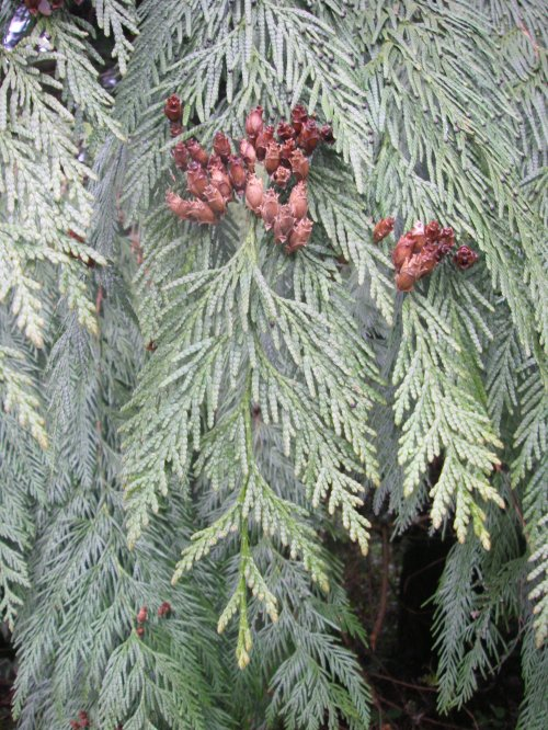 Medium Of Southern Red Cedar