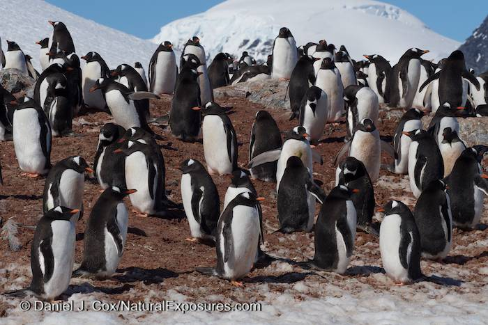 Gentoo Penguin Colony on Cuverville Island. Antarctica. Lumix GH3.