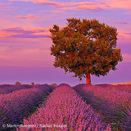 600-05524617 © Martin Ruegner Model Release: No Property Release: No English Lavender Field with Tree, Valensole, Valensole Plateau, Alpes-de-Haute-Provence, Provence-Alpes-Cote d�Azur, Provence, France