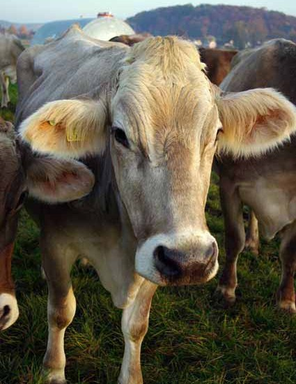 Cow Switzerland